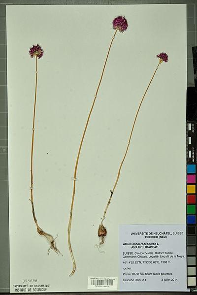 File:Neuchâtel Herbarium - Allium sphaerocephalon - NEU000100621.jpg