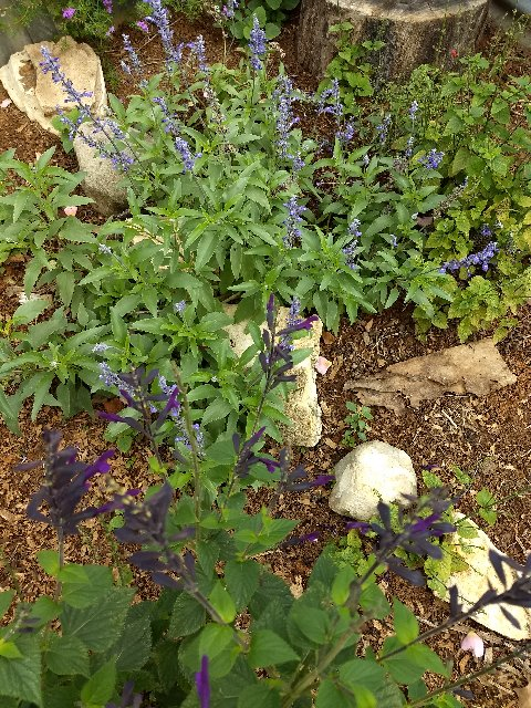 Lavender leaf sage (mealy blue sage in the background)